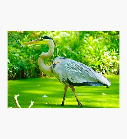 Great Blue in the Green Duck Weed Photographic Print