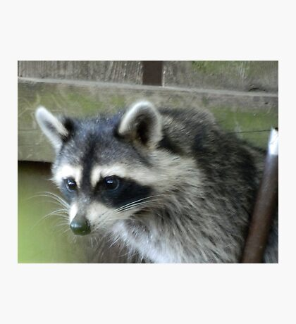 Raccoon Photographic Print