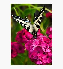 Flutterby on Sweet Williams Photographic Print