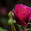 Red Rose by Steve plowman