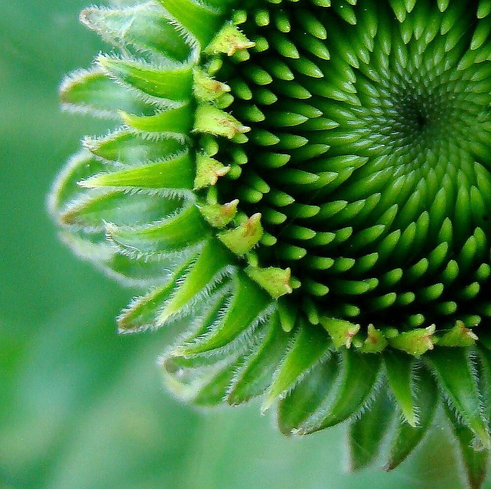 Emergence of the Cone Flower by PatChristensen