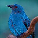 Female Asian Fairy Blue Bird by John Absher