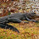Aliigator Portrait #1. Wetlands Park.  by chris kusik
