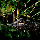 Alligator Portrait #3. Three Lakes W.M.A. by chris kusik