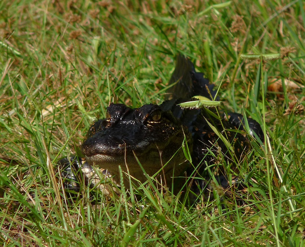 Alligator Portrait #4. Melbourne Shores. by chris kusik