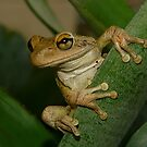 Tree Frog Portrait #2. by chris kusik