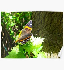 Red Admiral on shore leave Poster