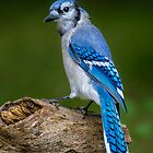 Stumped Blue Jay by Daniel  Parent