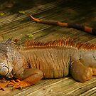 Iguana. by chris kusik