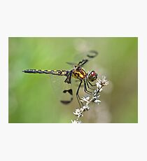Gorgeous Female Calico Pennant. Photographic Print