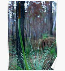 Grass Tree (Xanthorrhoea) Poster