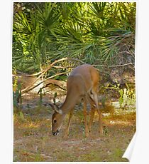 White-Tailed Deer Portrait #1. Lake Kissimmee S.P. Poster