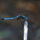 Blue Dasher Portrait #2. by chris kusik