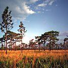 Sand Pine & Palmetto. Three Lakes W.M.A. by chris kusik