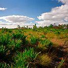 Palmetto Scrub. Triple N Ranch W.M.A. by chris kusik