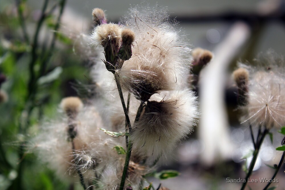 Wild Flowers Gone to Seed by Sandra Lee Woods