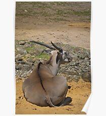 Antelope Poster