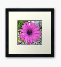 Violet Pink Osteospermum Flower Daisy Framed Print