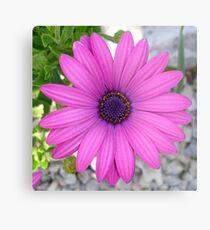 Violet Pink Osteospermum Flower Daisy Metal Print