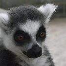 Ring Tailed Lemur by nellie11
