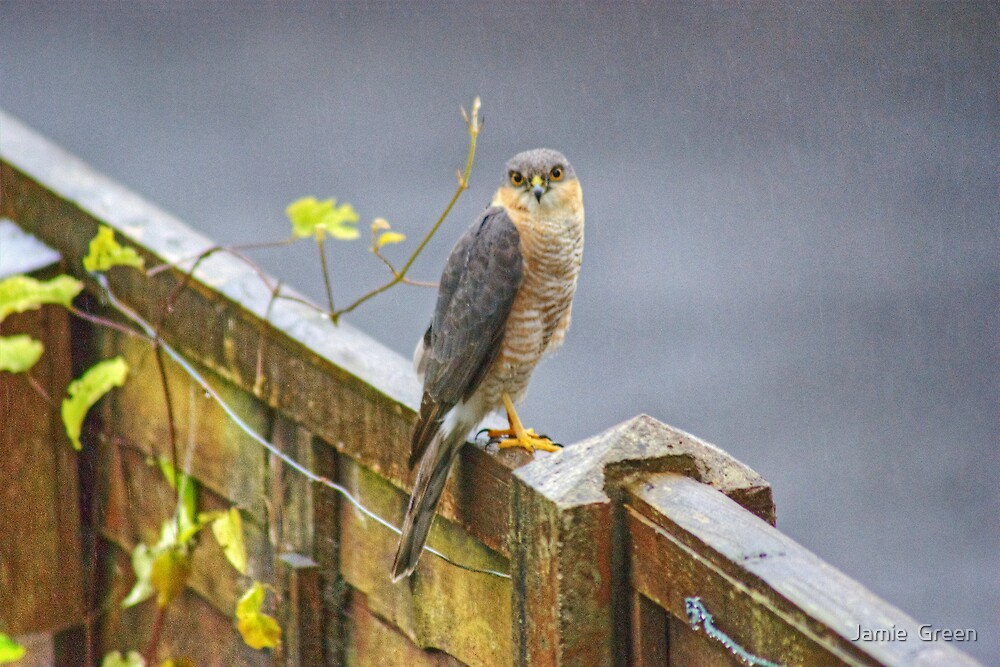 Sparrowhawk On My Fence by Jamie  Green