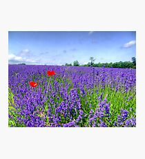 Mayfield Lavender Fields 3 Photographic Print