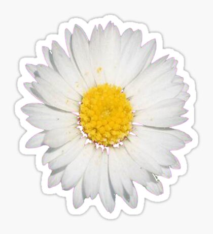 Closeup of a Beautiful Yellow and White Daisy flower Isolated Sticker