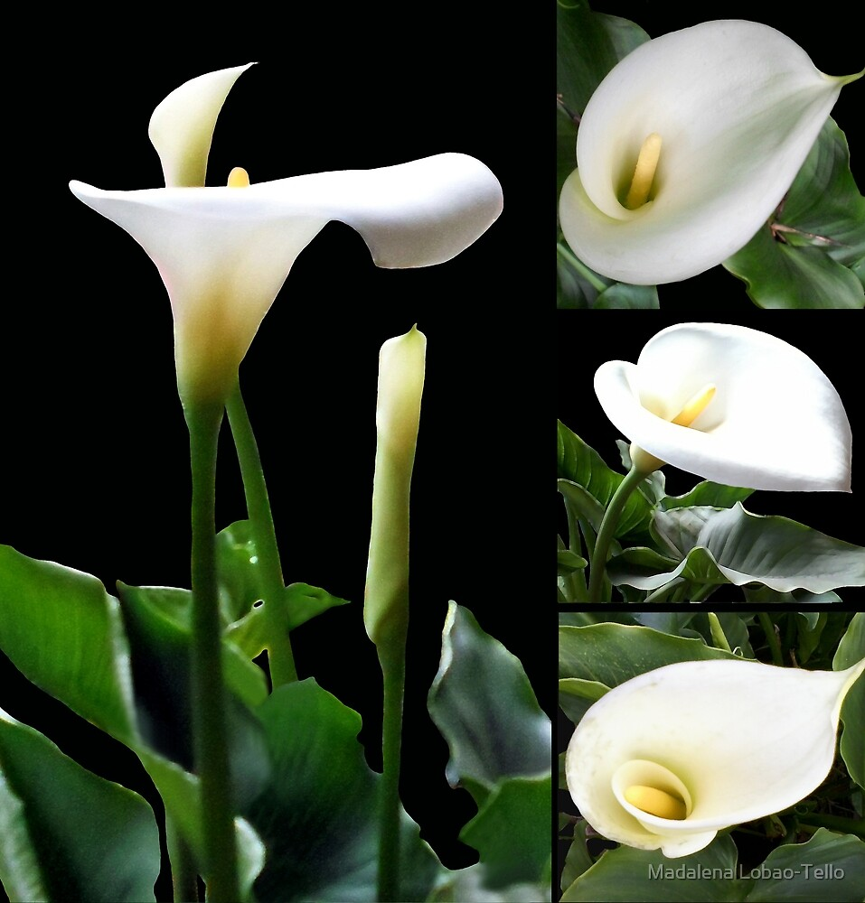 Calla lilies collage III by Madalena Lobao-Tello