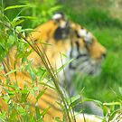 tiger blur by Perggals© - Stacey Turner