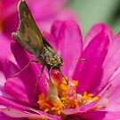 Moth and a flower! by vasu