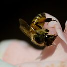 Rose and bee! by vasu