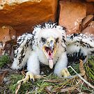 Baby eagle Banding by Robbie Knight