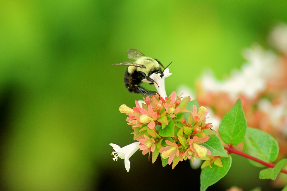 Bumble Bee by tracidawn