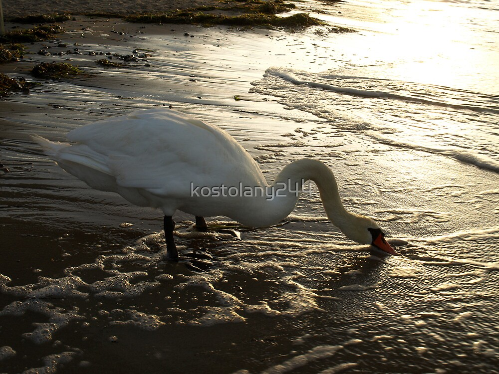 Swan at sunset by kostolany244