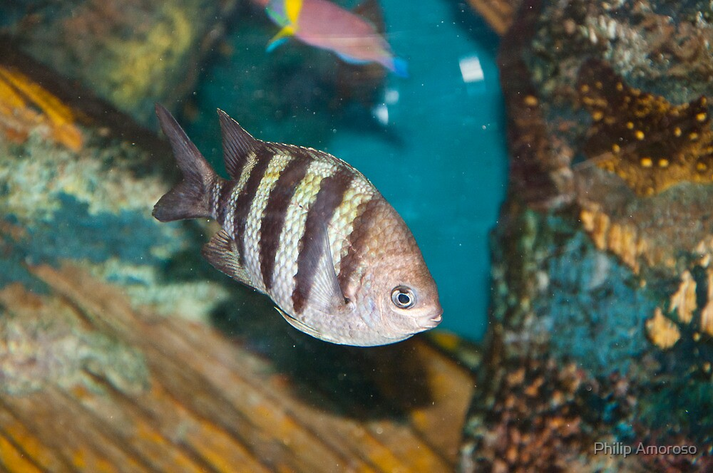 Striped Fish by Philip Amoroso