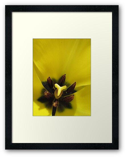 Tulip by fresca