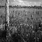 Pine Beetle Cemetery #2. Lake Lizzie Preserve. by chris kusik