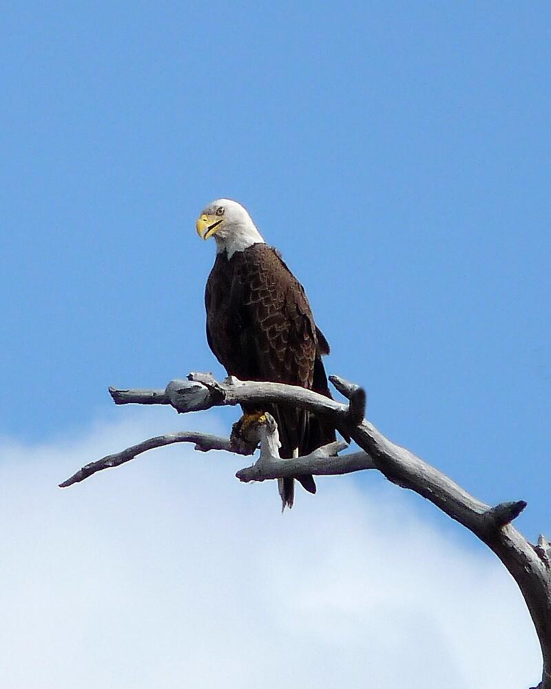 Bald Eagle. Shingle Creek  by chris kusik