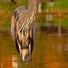 Great Blue Heron. Blue Cypress Lake. by chris kusik