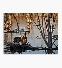 Black Swan - another rare event? Photographic Print
