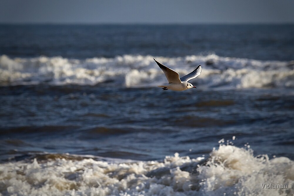 Seagull in flight by Violaman