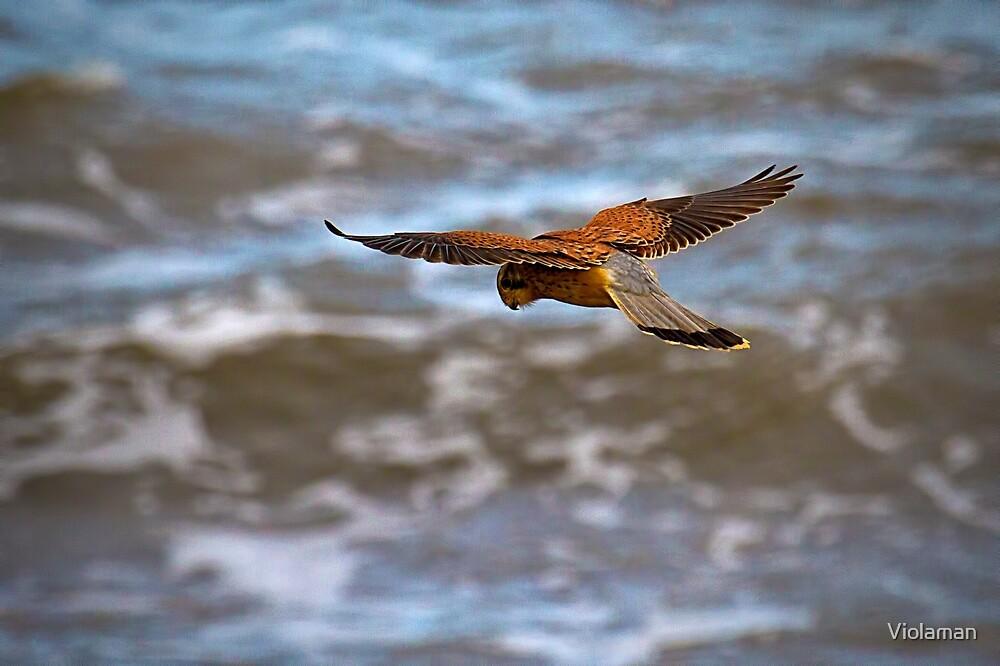 Kestrel over the sea by Violaman