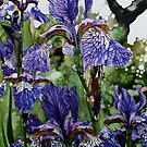 Iris's - featuring the now departed fig tree by samcannonart