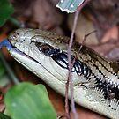 Tiliqua scincoides scincoides by Ray Fowler
