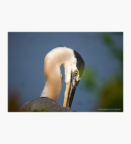Great Blue Heron Close Up Photographic Print