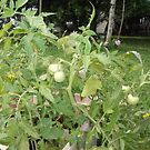 New Tomatos by stirlingacre