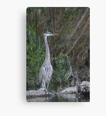Great Blue Heron on the Milwaukee River Canvas Print
