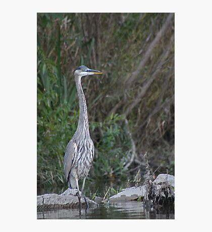 Great Blue Heron on the Milwaukee River Photographic Print