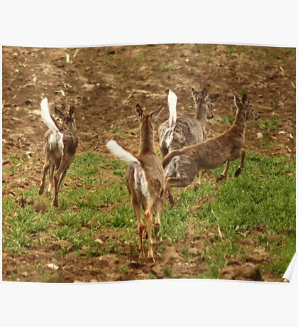 Four Whitetails at Holy Hill Poster