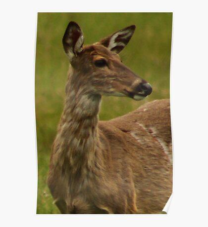 Deer Bust Portrait Poster